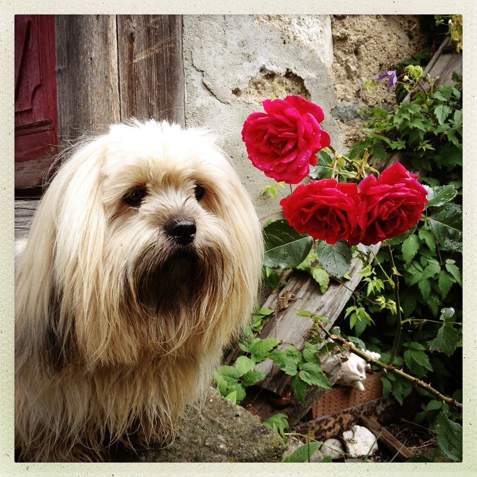 LiLu the beautiful Lhasa in Loretta's rose garden, at home in Switzerland