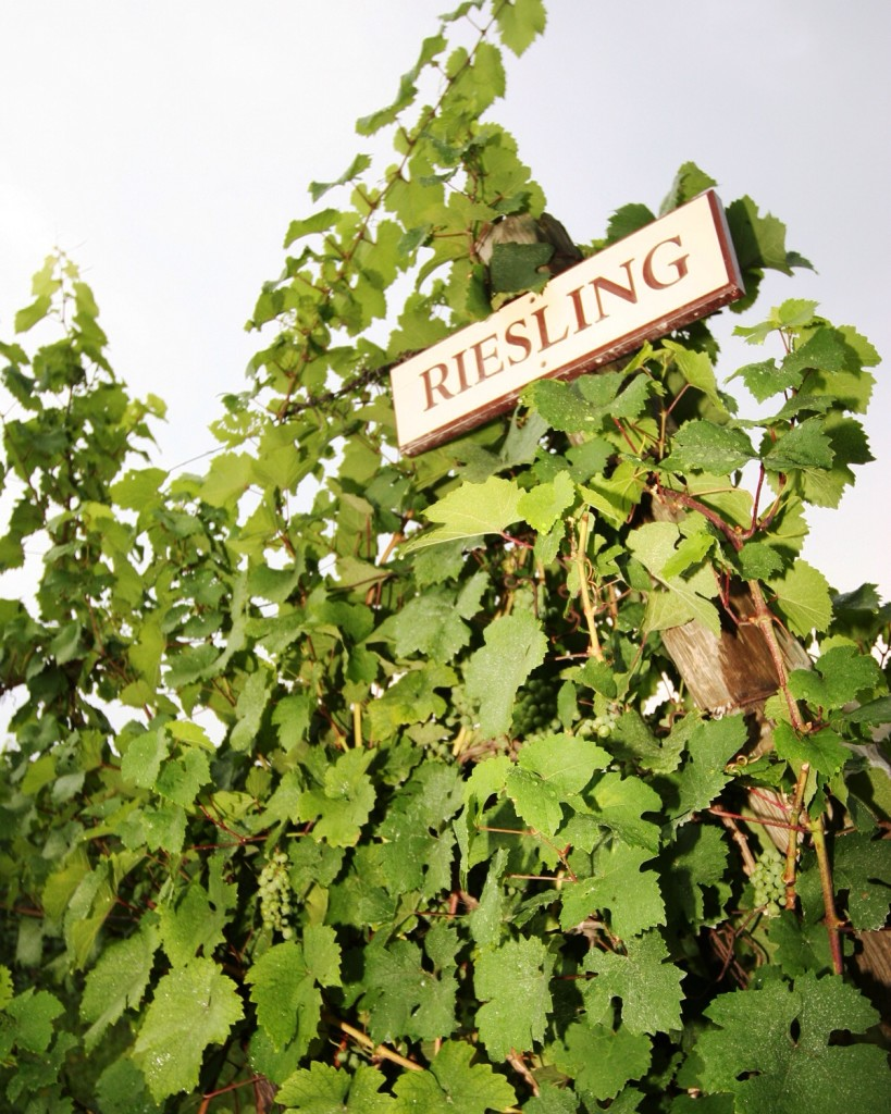Cool climate Riesling grapes