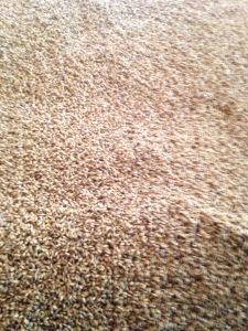 Barley in the floor malting process